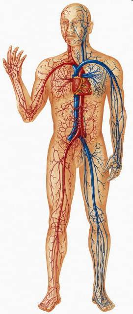 partial representation of circulation