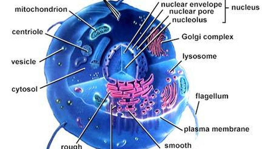 The Walls Of Each Of Our Trillions Of Cells Need To Be Pliable